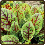 SORREL, RED VEINED (Organic) - Rumex sanguineus