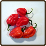 HABANERO, RED - Capsicum chinense