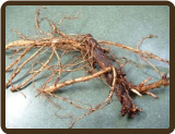 CENTENNIAL ROOTED RHIZOME - alpha 8-11% (Organic) (Pre-order now for 2017)
