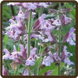 SAGE (Organic) - Salvia officinalis