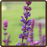 SAGE, WOODLAND - Salvia nemorosa (SOLD OUT FOR 2017)