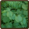 BURNET, SALAD (Organic) - Sanguisobia minor