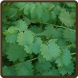 SALAD BURNET (Organic) - Sanguisobia minor