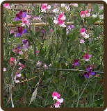 SWEET PEAS (MIXED COLORS) (Organic) - Lathyrus odorata