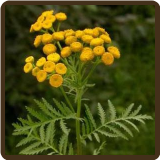 TANSY (All Natural) - Tanacetum vulgare