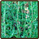THYME, CULINARY* - Thymus vulgare