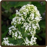 JUPITER'S BEARD, WHITE (All Natural) - Centranthus ruber albus