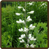 INDIGO,  WHITE WILD (All Natural) - Baptisia leucantha