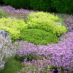 thyme creeping mixed varieties all natural thymus sp order now for fall shipping - Thyme Garden