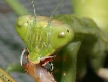 An adult praying mantis eating an insect.